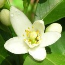 Organic Neroli Floral Water